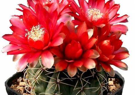 از محبت کاکتوس گل می دهد