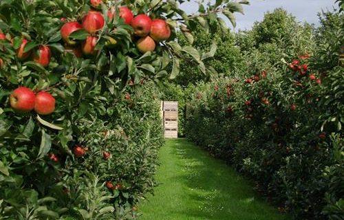 اهدای یک باغ سیب برای اشتغال مددجویان توسط یکی از خیرین اسفرورین