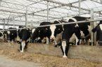 بنیاد مستضعفان برای خودکفایی در تولید گوشت قرمز و تولید شیر ورود میکن