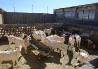 پرورش بزهای آلپاین و سانن سوییسی و فرانسوی به دست کارآفرین دامغانی